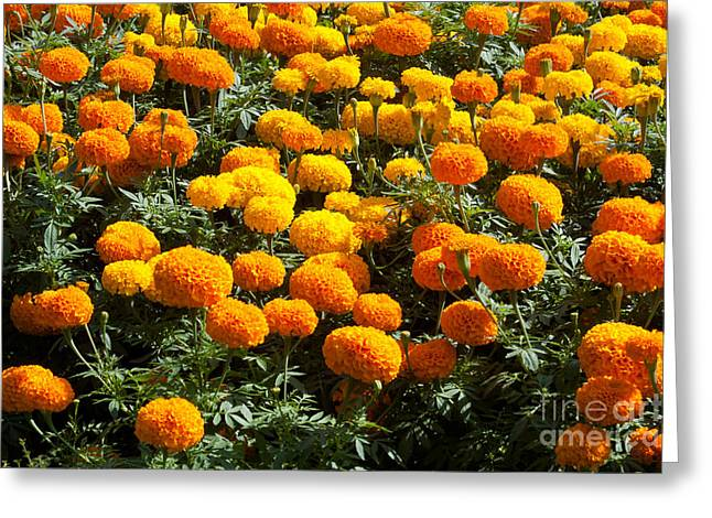 Golden Green Background Greeting Cards - Marigold Greeting Card by Atiketta Sangasaeng