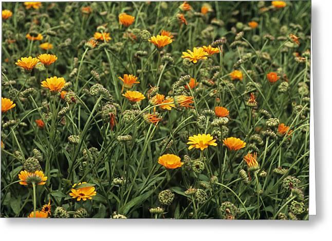 Tincture Greeting Cards - Marigold (calendula Officinalis) Greeting Card by Adrian Thomas