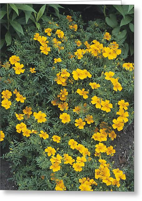 Tangerine Photographs Greeting Cards - Marigolds (tagetes tangerine Gem) Greeting Card by Adrian Thomas