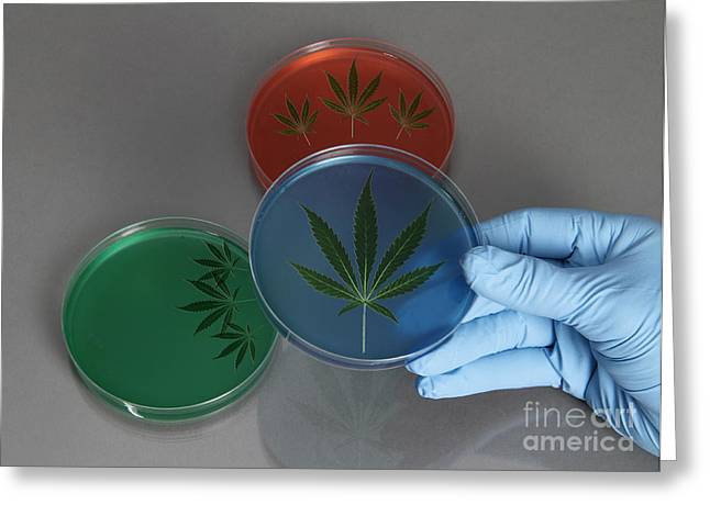 Agar Greeting Cards - Marijuana Leaves In A Petri Dish Greeting Card by Photo Researchers