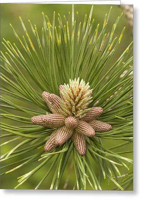 Pine Cones Greeting Cards - Maritime Pine Flowers (pinus Pinaster) Greeting Card by Bob Gibbons