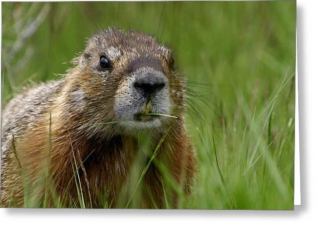 Groundhog Digital Greeting Cards - Marmot Munchies Greeting Card by Shari Jardina