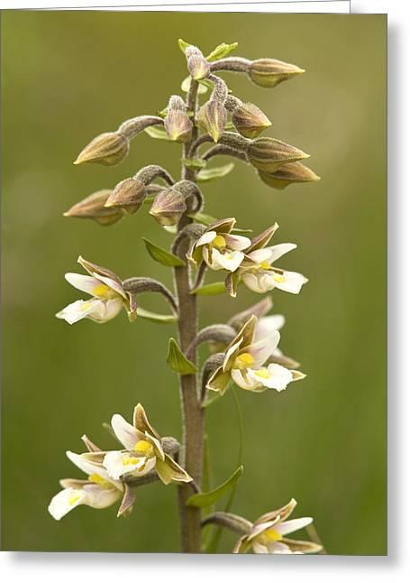 Marsh Helleborine (epipactis Palustris) Greeting Card by Bob Gibbons