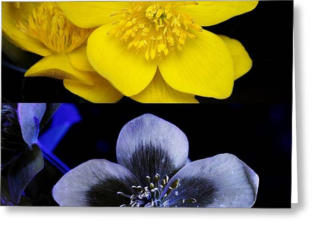 Marsh Marigold In Uv Light Greeting Card by Cordelia Molloy