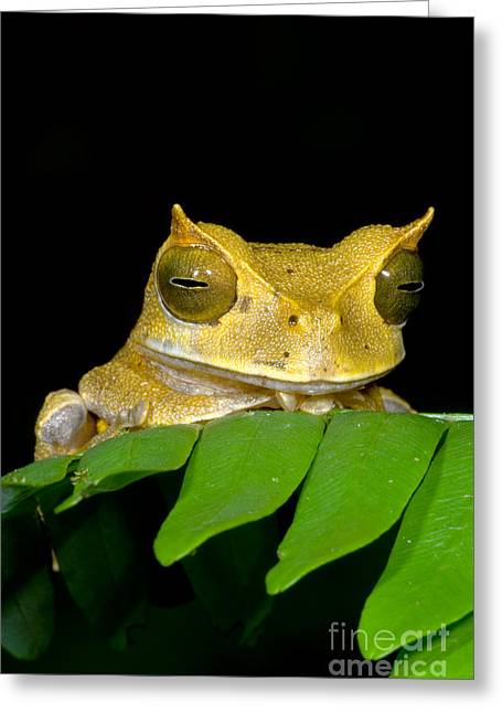 Marsupial Greeting Cards - Marsupial Frog Greeting Card by Dante Fenolio