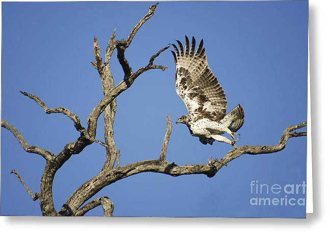 Martial Eagle Greeting Cards - Martial Eagle in South Africa Greeting Card by Pierric Descamps