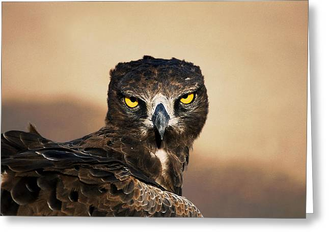 Martial Eagle Greeting Cards - Martial Eagle Portrait Greeting Card by Joe Lategan