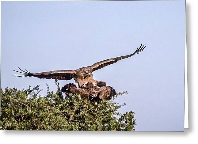 Martial Eagle Greeting Cards - Martial Eagles Mating Greeting Card by Marion McCristall