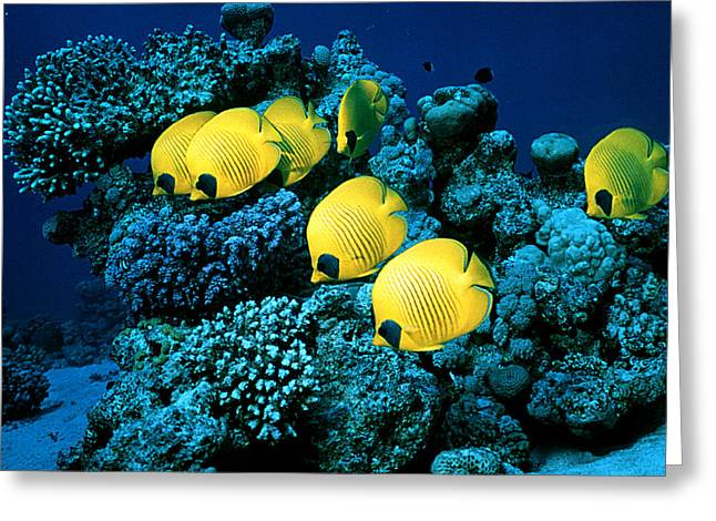 Chaetodon Semilarvatus Greeting Cards - Masked Butterfly Fish Greeting Card by Peter Scoones