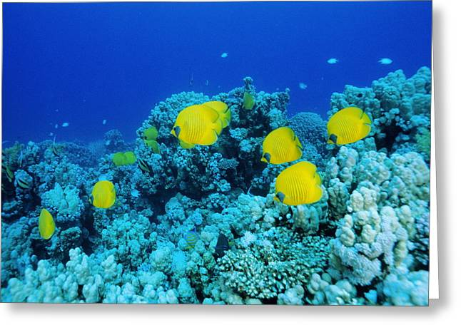 Chaetodon Semilarvatus Greeting Cards - Masked Butterfly Fish Shoal Greeting Card by Alexis Rosenfeld