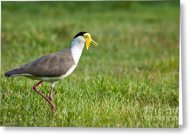 Queensland Greeting Cards - Masked lapwing Greeting Card by Johan Larson