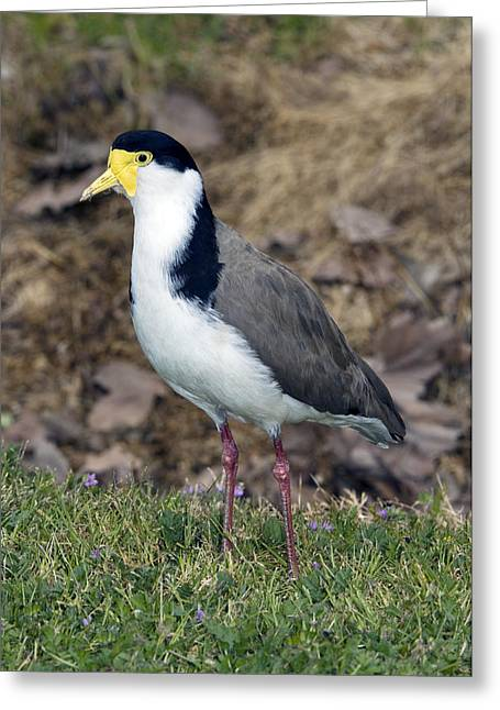 Lapwing Greeting Cards - Masked Lapwing Greeting Card by Tony Camacho