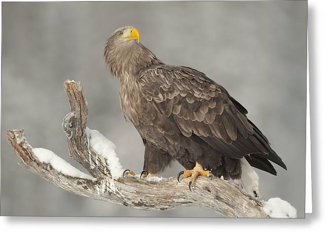 Neutral Background Greeting Cards - Master and Commander  - White-tailed Eagle Greeting Card by Andy Astbury