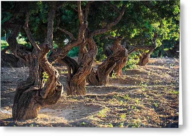 Northeastern Greeting Cards - Mastic tree   Greeting Card by Emmanuel Panagiotakis