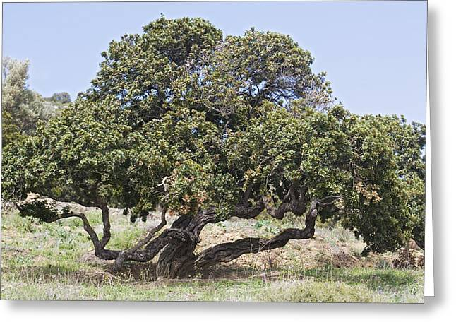 Mastic Tree (pistacia Lentiscus Var.chia) Greeting Card by Bob Gibbons