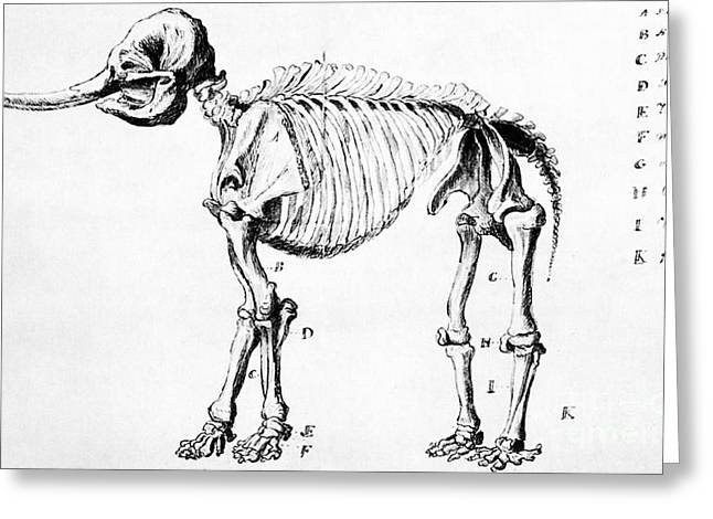 Mastodon Skeleton Drawing Greeting Card by Science Source