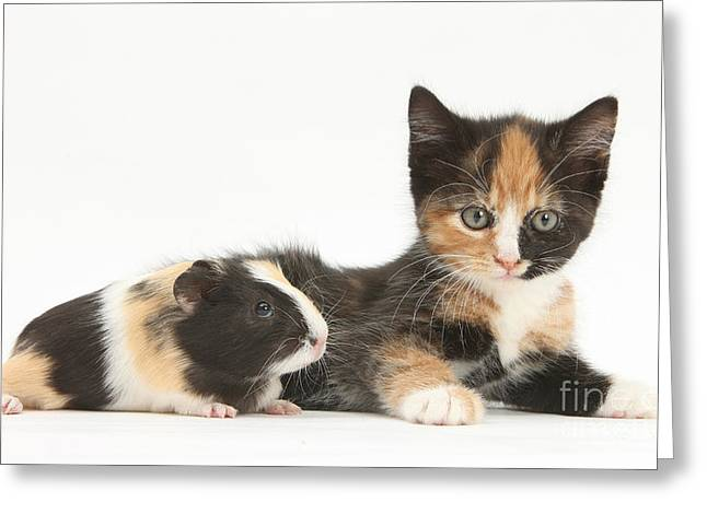 Cavy Greeting Cards - Matching Kitten & Guinea Pig Greeting Card by Mark Taylor