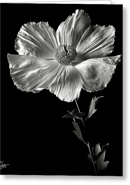 Flower Photos Greeting Cards - Matilija Poppy in Black and White Greeting Card by Endre Balogh