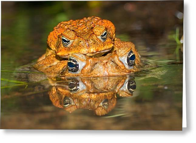 Mating Cane Toads Greeting Card by Johan Larson