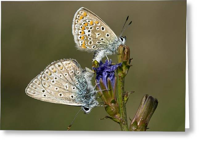 Animal Behaviour Greeting Cards - Mating Common Blue Butterflies Greeting Card by Bob Gibbons