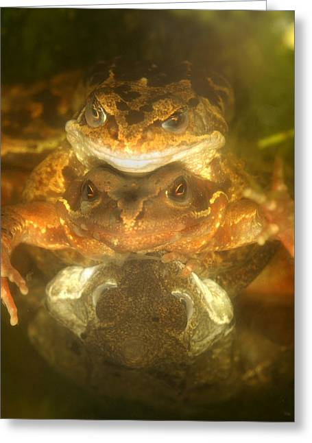 Mounting Greeting Cards - Mating Common Frogs Greeting Card by Dr Keith Wheeler