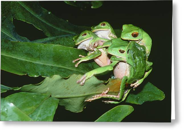 Tree Frog Greeting Cards - Mating Green Tree Frogs Greeting Card by Dr Morley Read