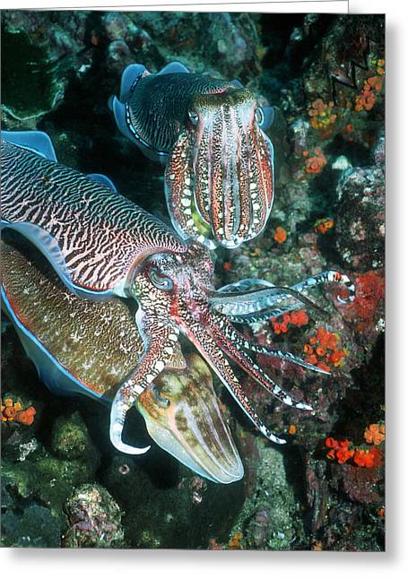 Pharaoh Greeting Cards - Mating Pharaoh Cuttlefish Greeting Card by Georgette Douwma