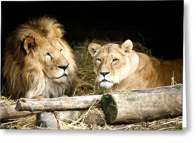 Lioness Greeting Cards - Matt and Shiela Greeting Card by Joe Burns