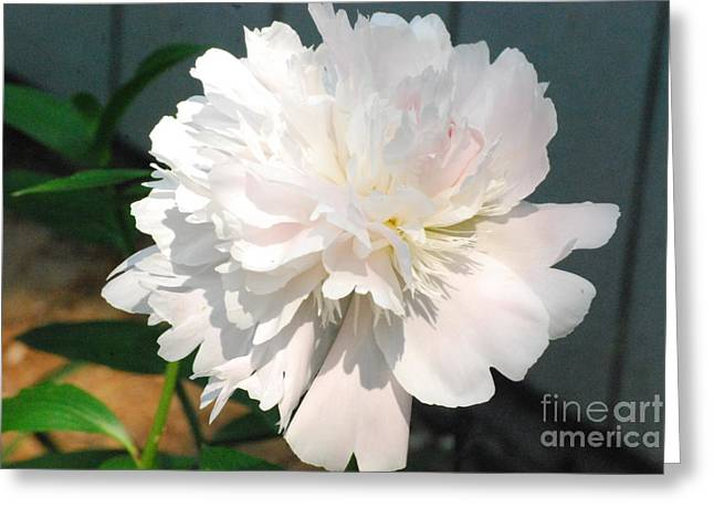 Painted Wood Pastels Greeting Cards - Mature Peony in view Greeting Card by Sharen Duffing