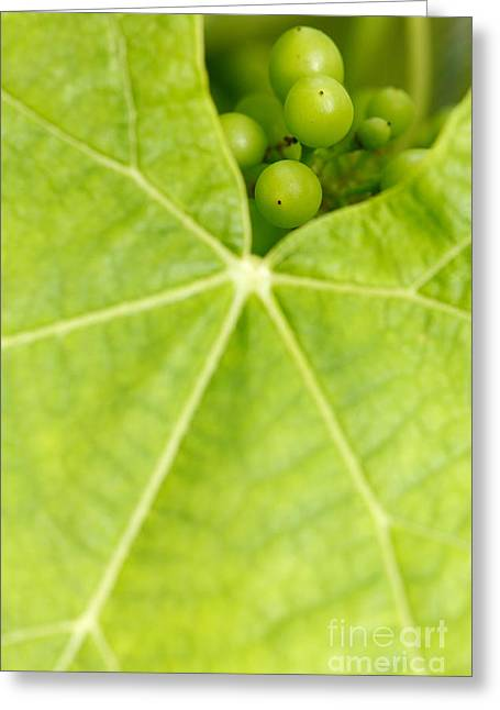 Vine Leaves Greeting Cards - Maturing wine grapes Greeting Card by Gaspar Avila