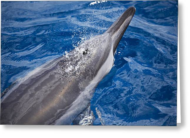 Blows Air Greeting Cards - Maui Dolphin Greeting Card by Dave Fleetham