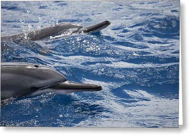 Blows Air Greeting Cards - Maui Spinner Dolphins Greeting Card by Dave Fleetham