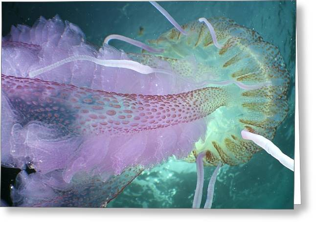 Cnidaria Greeting Cards - Mauve Stinger Jellyfish Greeting Card by Angel Fitor