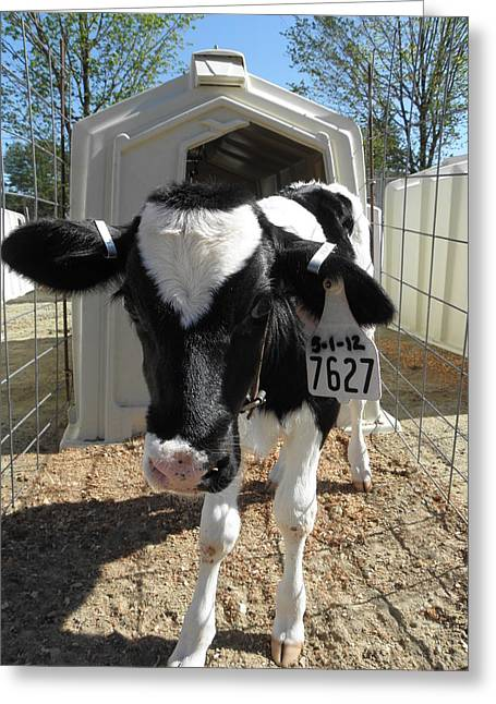 Moos Print Greeting Cards - May Day Baby moo moo Greeting Card by Kim Galluzzo Wozniak