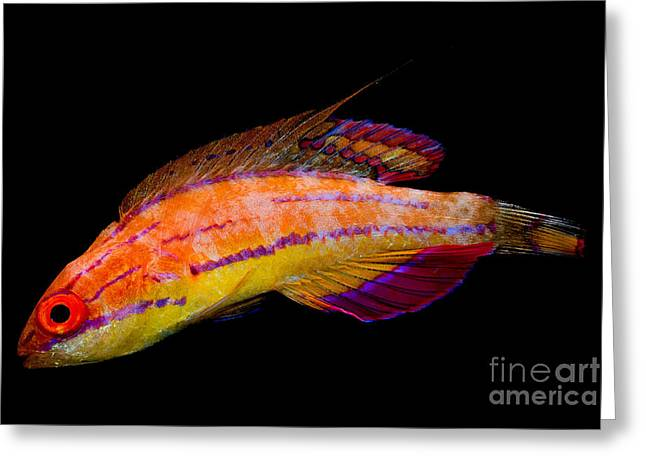 Reef Fish Greeting Cards - Mccoskers Fairy Wrasse Greeting Card by Danté Fenolio