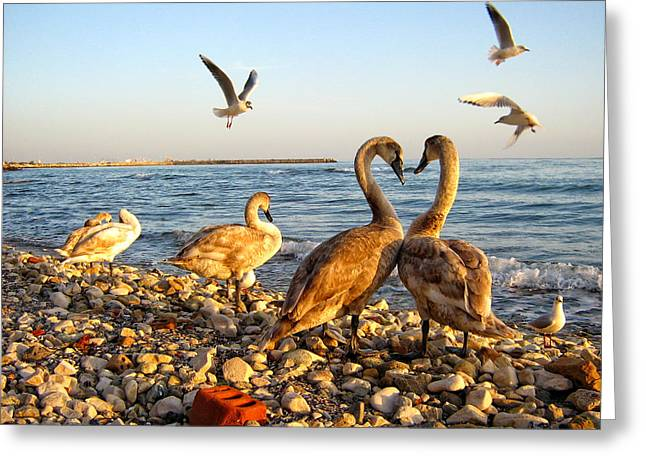 Swans... Greeting Cards - Me - too Greeting Card by Eli Marinova