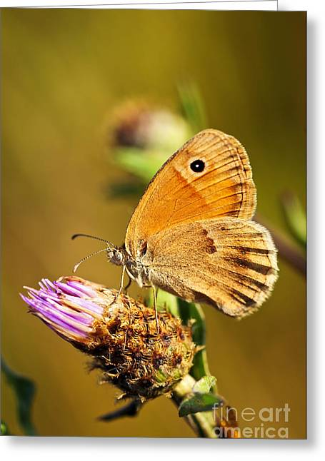 Blooms Butterflies Greeting Cards - Meadow brown butterfly  Greeting Card by Elena Elisseeva
