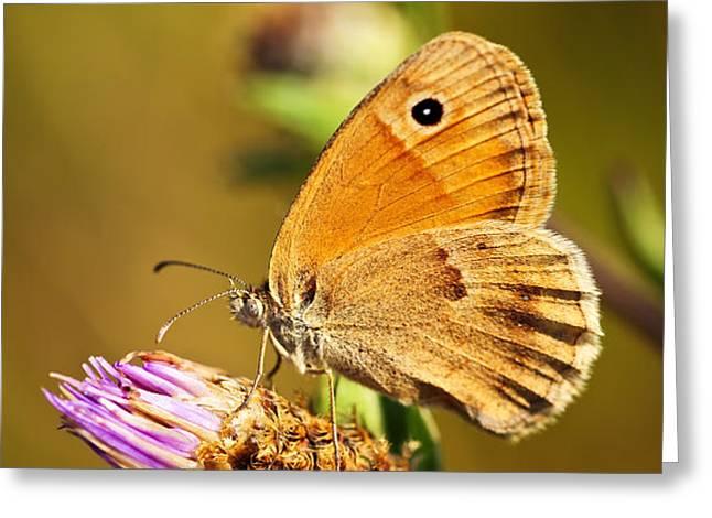 Meadow brown butterfly  Greeting Card by Elena Elisseeva