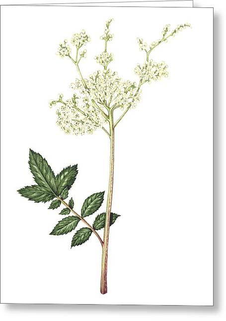 Western Asia Greeting Cards - Meadowsweet, Artwork Greeting Card by Lizzie Harper