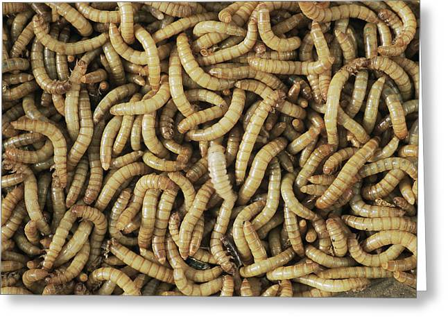 Pastimes Greeting Cards - Mealworms Greeting Card by David Aubrey