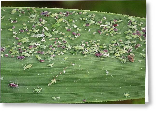 Eating Entomology Greeting Cards - Mealy Plum Aphids Feeding On A Leaf Greeting Card by Bob Gibbons