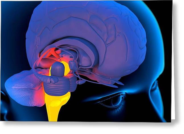 Brain Controlled Greeting Cards - Medulla Oblongata In The Brain, Artwork Greeting Card by Roger Harris