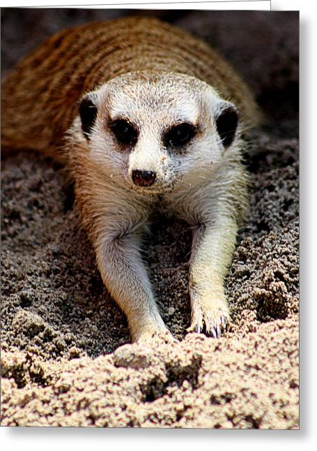 """animal Photographs"" Greeting Cards - Meerkat Chilling Out Greeting Card by Tam Graff"