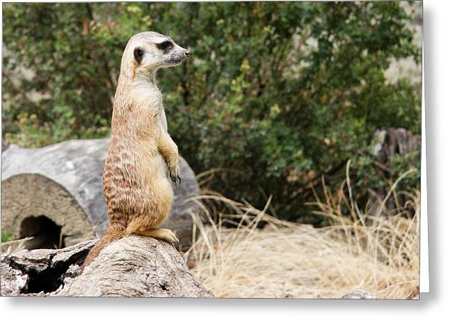 Sweetly Greeting Cards - Meerkat II Greeting Card by Ivica Vulelija