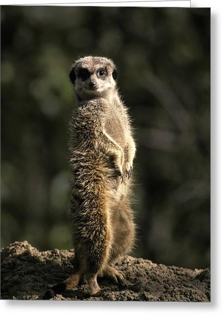 Mound Greeting Cards - Meerkat Leaning On Tail On Mound, Alert Greeting Card by Jason Edwards