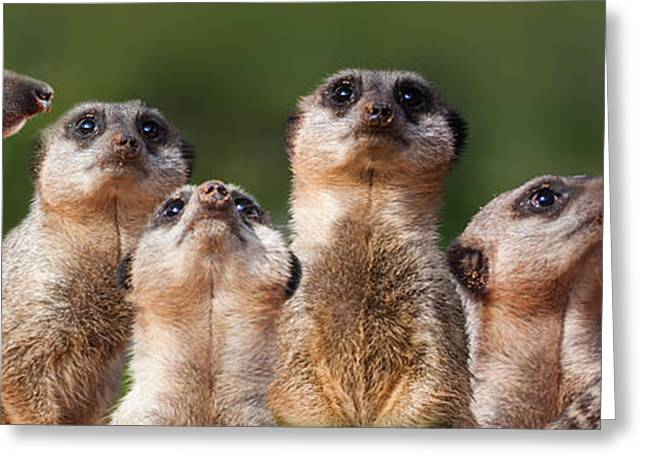 Meerkat Mob Greeting Card by Julie L Hoddinott