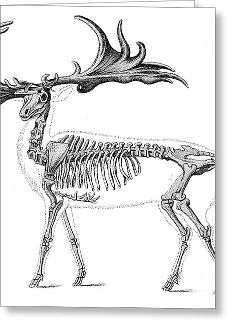 Pre-restoration Greeting Cards - Megaloceros, Cenozoic Mammal Greeting Card by Science Source