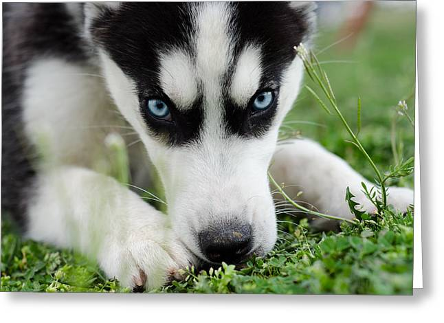 Huskies Photographs Greeting Cards - Meko Greeting Card by Off The Beaten Path Photography - Andrew Alexander
