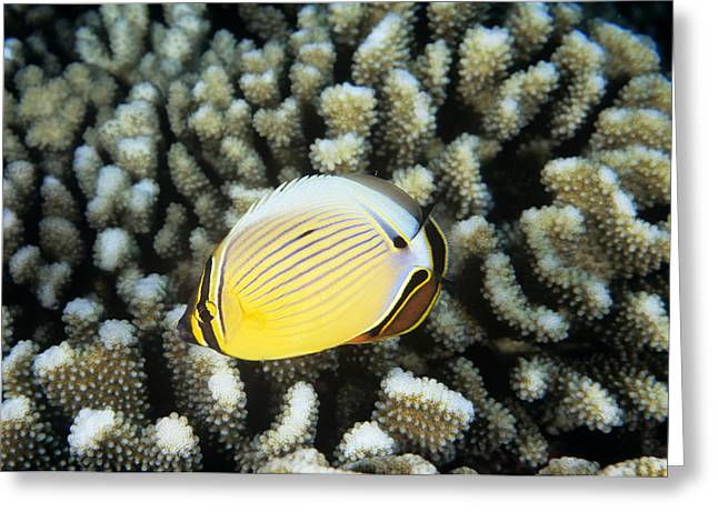 Melon Greeting Cards - Melon Butterflyfish Greeting Card by Alexis Rosenfeld