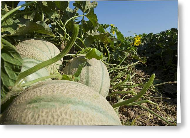 Melon Greeting Cards - Melon Crop Greeting Card by Angel Fitor